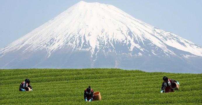 Apanha de folhas de chá no Japão. EVERETT KENNEDY BROWN/LUSA