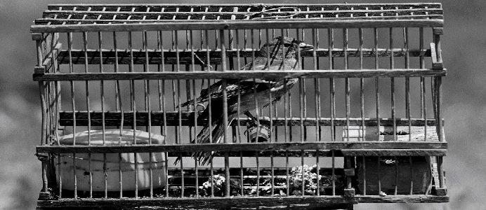 Tentilhões em gaiolas, em Lisboa a 19 de Maio de 1987. CRISTINA FERNANDES / LUSA