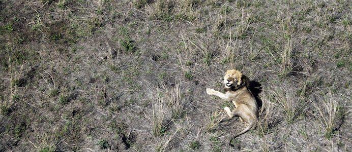 Imagem aérea de um leão no Parque Nacional da Gorongosa em Moçambique fotografado em 29 de novembro de 2016. Os leões são monitorizados por sinais GPS via satélite que dá a localização de cada um dos grandes predadores existentes no Parque e também uma importante ajuda para os fiscais: se um animal fica imóvel por muito tempo, pode ter sido apanhado por uma armadilha. HENRIQUE BOTEQUILHA / LUSA